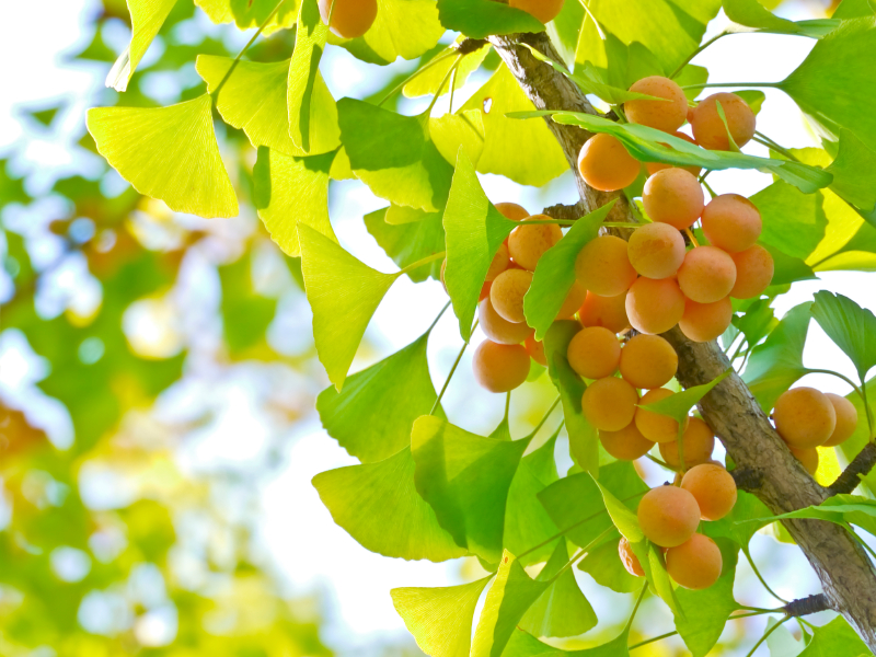 beneficios-do-ginkgo-biloba