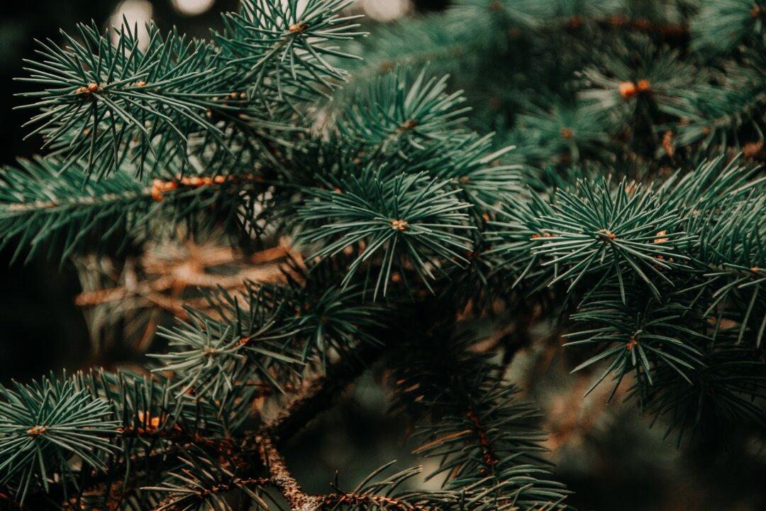 galhos do pinheiro